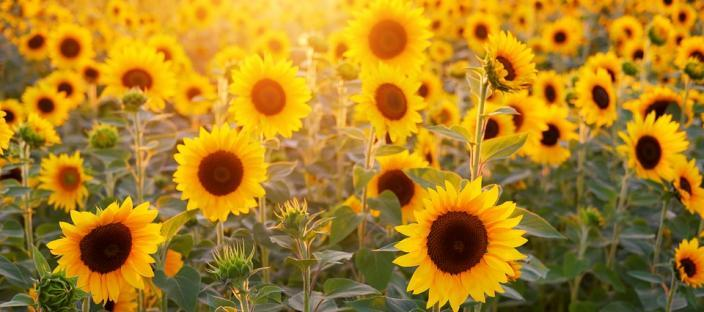 Do sunflowers, Indian mustard, trees, and other plants reduce soil lead? Learn more about sunflower remediation and other lead myths.